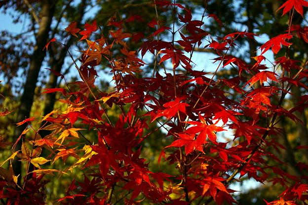 ちいさな紅葉