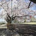 写真: 桜とぼんぼり