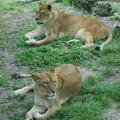 貫禄の。。。雌ライオン