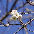 青空と冬桜