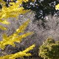 冬桜とイチョウ
