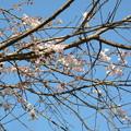 Photos: 冬桜 2