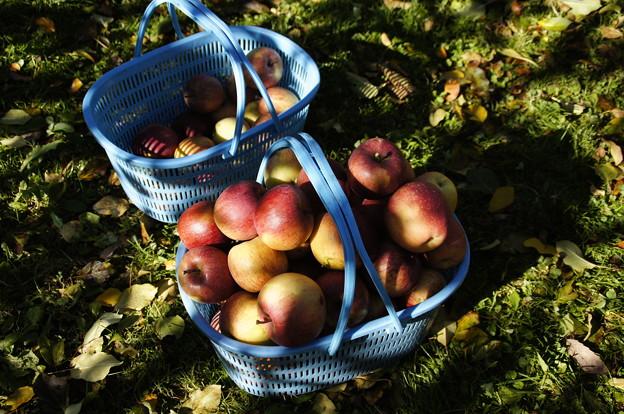 Photos: リンゴ
