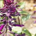 紫のサルビア