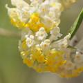Photos: 黄色く春へ