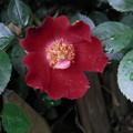 Photos: 庭の花 4