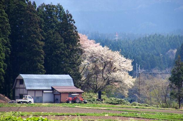 写真00204 農具小屋脇のサクラ・・・大仙市協和