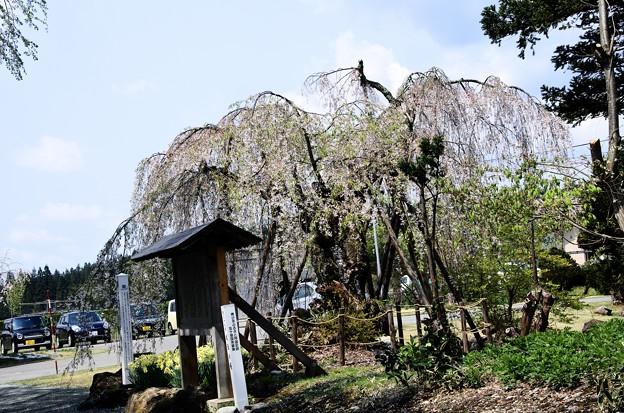 写真00222 豊島家の枝垂桜(協和)