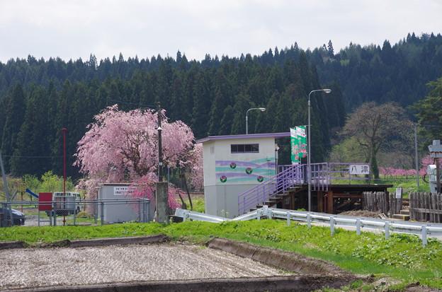 写真00230 カタクリ園への入り口八津駅のサクラ
