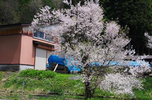 写真00235 仙北市西木で見たサクラ
