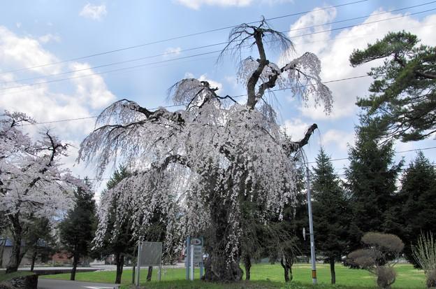 写真00239 旧西木町の天然記念物「支所の枝垂桜」