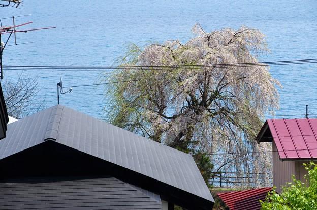 写真00248 田沢湖畔のサクラ