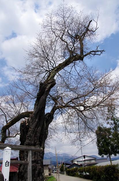 写真00259 田沢湖町生保内にある「白山桜」