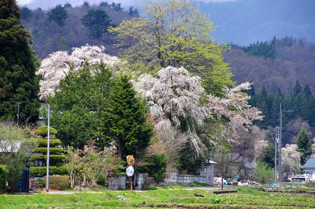 写真00261 「白山桜」から見えた元旅館らしき敷地の桜