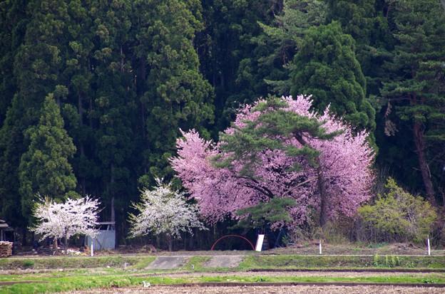 写真00264 生保内から出るところの桜