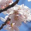 Photos: 桜桃1