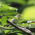 写真: P7130127キビタキ雌