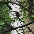 写真: P7130079サンコウチョウ雛(トリミング)