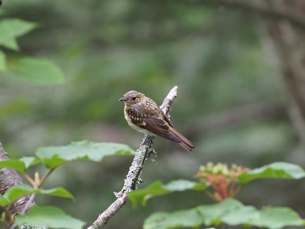 写真: P7200062キビタキ幼鳥(トリミング)