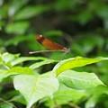 写真: P7271831ミヤマカワトンボ雌