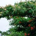 Photos: ノウゼンカズラと合歓の花コラボ♪