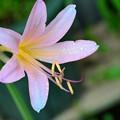 Photos: 畑の片隅で咲いていた夏水仙
