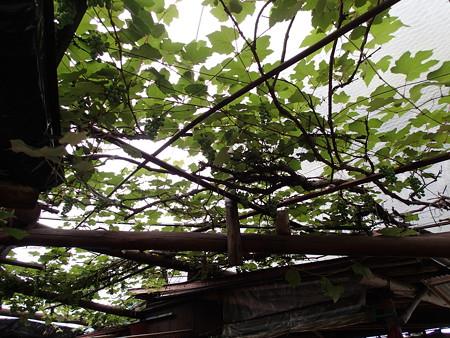 小林農園 天井の様子
