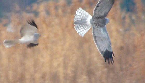 2羽のハイイロチュウヒ♂1