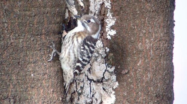 コゲラ Japanese Pygmy Woodpecker