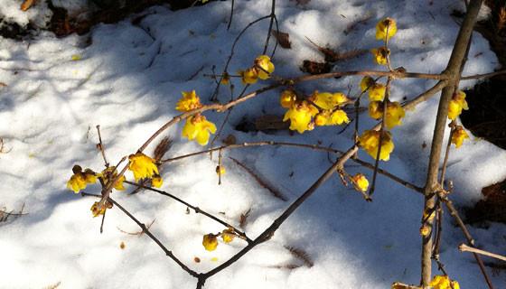 雪とロウバイ