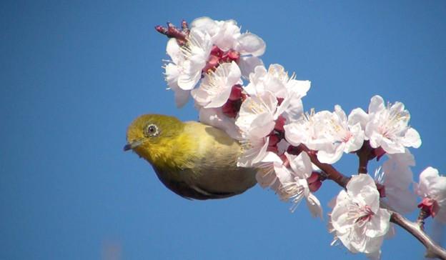 Photos: アンズの花とメジロ