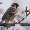 写真: 桜とスズメ