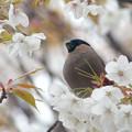 山桜とウソ