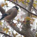 写真: 山桜とウソ