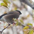 Photos: 山桜とウソ