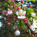 写真: ズミの花
