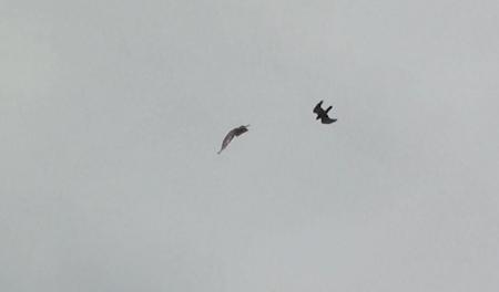 猛禽類の空中バトル2