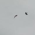 写真: 猛禽類の空中バトル2