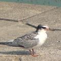 Photos: コアジサシ幼鳥