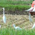 写真: シラサギの群れ