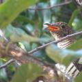 写真: ツツドリ・赤色型