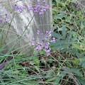 Photos: 11月2日「ラッキョウの花」
