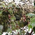 Photos: 12月5日「雪とツルリンドウ」