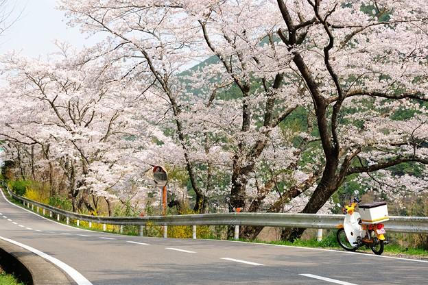 桜ツーリング。