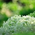 純白 紫陽花