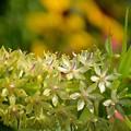 写真: 首飾りのような花!
