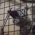トラの給餌ガイド in 夜の動物園