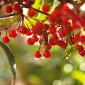 Photos: 紅い実の煌めき