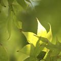 Limegreen maple