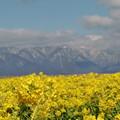 Photos: 菜の花と湖西の山_13_02_CIMG6194